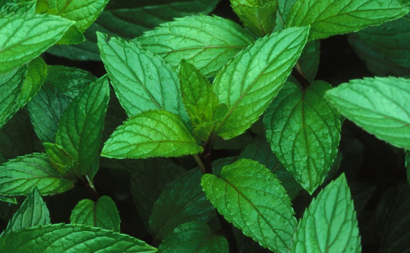 Three scientifically backed uses of peppermint oil